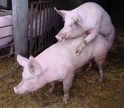 pigs_breeding.jpeg
