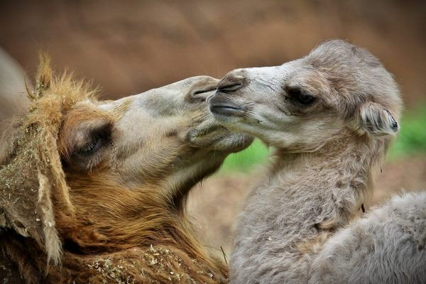 Presley the camel was born June 4. - CHRISTOPHER CARTER/STL ZOO