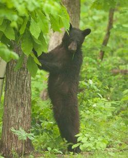 MISSOURI BLACK BEAR FOUNDATION.