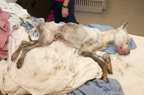 """Cinnitra Fowler charged with leaving this dog in a dumpster. Before his death, he was named """"Our Little Boy"""" by Stray Rescue - IMAGE VIA STRAY RESCUE"""