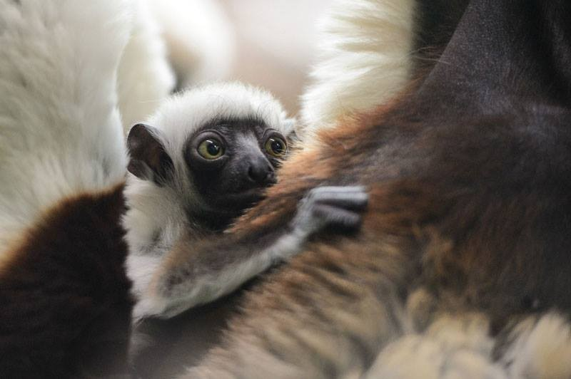 Baby Kapika, a sifaka lemur, born at the St. Louis Zoo. - RAY MEIBAUM/ST. LOUIS ZOO