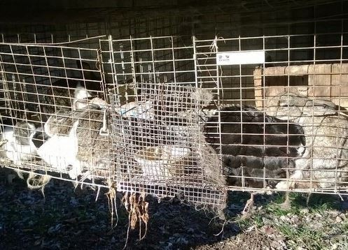 A Humane Society photo of one of rabbit cages on Muessemeyer's property.