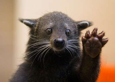 This is a bearcat. It is not the most intimidating creature one could choose for a mascot.