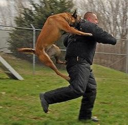 A fine police dog at work. (Yes, we'll use any excuse to run this photo.) - WIKIMEDIA COMMONS