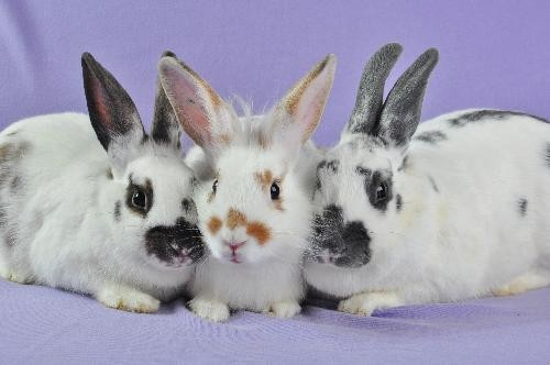 Pringle, Pretzel and Poptart: They survived the great flood of May 2011. Now they need a new home. - COURTESY OF HOUSE RABBIT SOCIETY OF MISSOURI