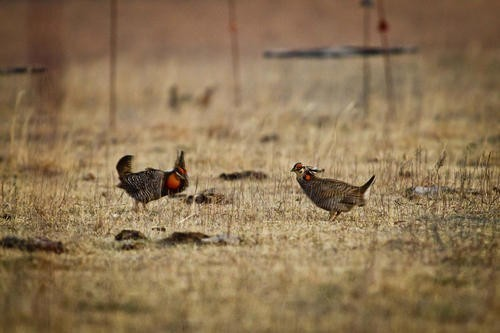 Earl Richardson - AH! PRAIRIE CHICKENS/WE WILL MAKE OUR READERS CLUCK/ANYTHING FOR SEATS