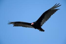 "Turkey vulture soars with its wings in a ""V,"" instead of flattened - IMAGE VIA"