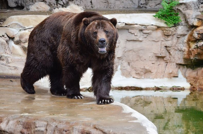 Bert the grizzly bear died at the ripe old age of 25. His brother Ernie died at the Saint Louis Zoo four years ago. - ROBIN WINKLEMAN/SAINT LOUIS ZOO