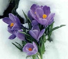 Crocus +Cardinals = Spring around the corner.
