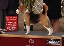 Allie accepting an award at a dog show in Florida last month. - COURTESY KATHLEEN WEICHERT