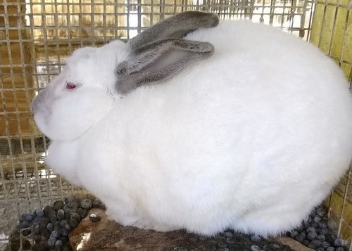One of the rabbits rescued Tuesday from St. Clair. - HUMANE SOCIETY OF MISSOURI