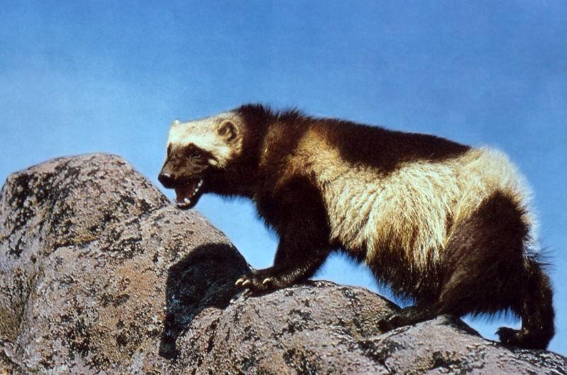 This wolverine has not won a Tony award.
