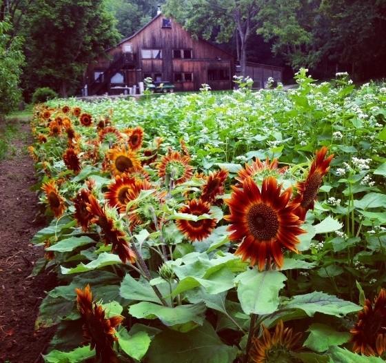 CLAVERACH FARM | RACHEL SHULMAN