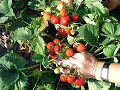 Strawberries tended by a person of legal working age. - WIKIMEDIA COMMONS
