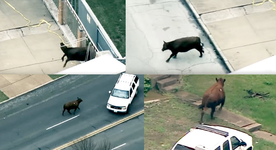 Chico refused to be cornered, bursting through an iron fence and evading police for hours. - COURTESY OF GENTLE BARN