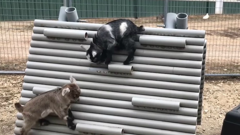 Baby goats will climb on anything. Even you. - SCREENGRAB FROM LONGMEADOW RESCUE RANCH
