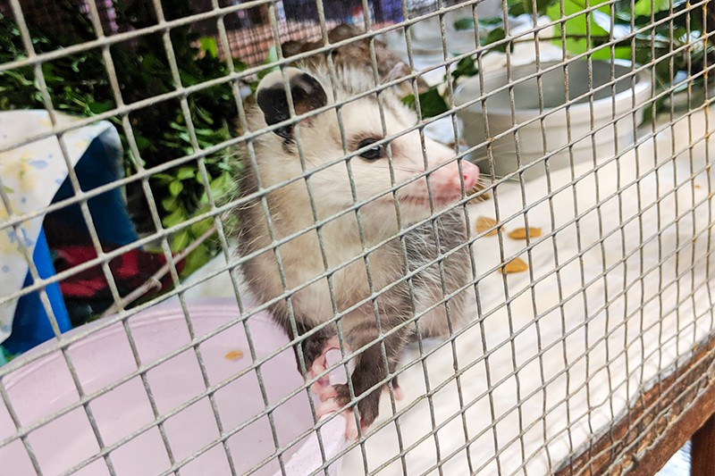A young opossum at the Missouri Wildlife Rescue Center in 2019. - DANNY WICENTOWSKI