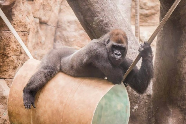 Sexy St Louis Zoo Gorilla Came in Like a Wrecking Ball Arts Blog