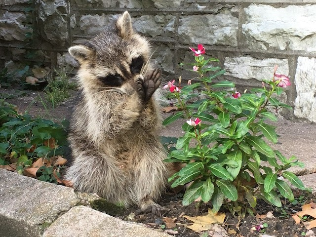 Another distempered raccoon spotted in south city. - PHOTO BY ROBERT LANGELLIER