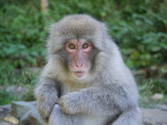 A macaque died while in Washington University's care in June 2017. - PHOTO COURTESY OF FLICKR/BLUE FUTON