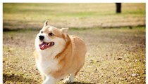 A Missouri Corgi Riding a Pony is the Best Thing You'll See All Day