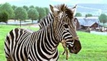 Horse Senseless