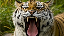Hold That Tiger: The recent big cat attacks in Missouri have residents and state officials calling for tougher exotic animal laws