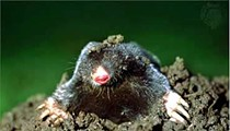 St. Louis Company Wants to Hear Why You Hate Moles