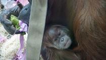[PHOTOS] Saint Louis Zoo Throws Shower, Reveals Name for New Baby Orangutan