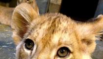 Cincinnati Zoo Names Lion Cub In Honor of St. Louis Zookeeper