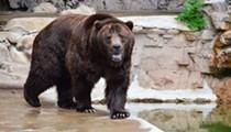 RIP Bert: Grizzly Bear Rescued from Alaska Dies at Saint Louis Zoo