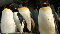 9 Reasons to Celebrate the Grand Re-Opening of Saint Louis Zoo's Penguin & Puffin Coast