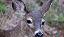 Town & Country Vigil Will Protest City's Deer Cull