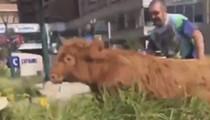 Cute Cow Makes a Break For It in St. Louis Along Kingshighway