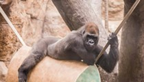 Sexy St. Louis Zoo Gorilla Came in Like a Wrecking Ball