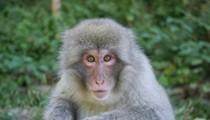 Lab Deaths of Monkey, Rabbit Have Wash U Under Fire