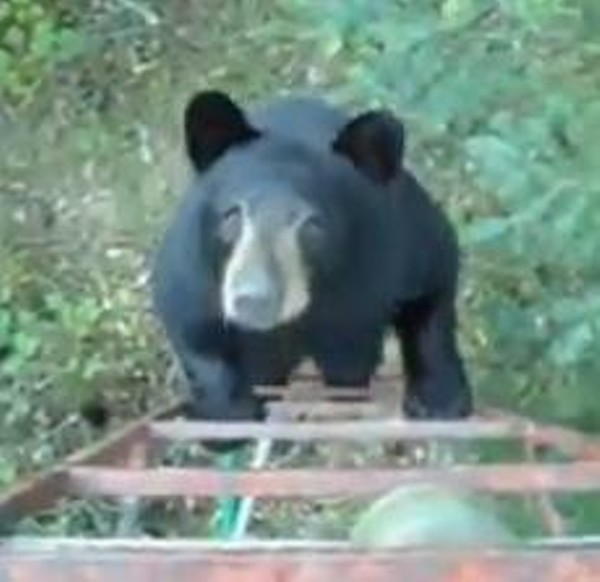 Video Missouri Bear Joins Hunter In Tree Stand News Blog