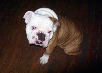 UPDATE: Tank the Bulldog <S>Stolen from</S> Safely Home at O'Malley's Irish Pub