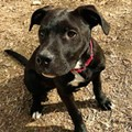 Adopt this Doggie: Carlos the Pretty Pit Puppy