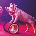 Circus Flora Launches This Weekend, With a New Home and Piggy Performers