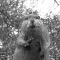 Eat More Beaver