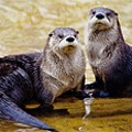 Cheers to the Otters