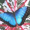 March Morpho Mania