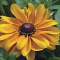 Like This Flower? Vote For It at Missouri Botanical Garden