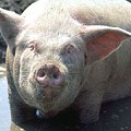 Attorney General Chris Koster Lauds Ruling in Favor of Corporate Hog Farm