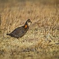 The Semi-Triumphant Return of the Prairie Chicken