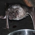 Rabid Bat Found in University City Home