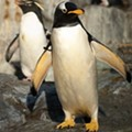 Saint Louis Zoo Penguin and Puffin Coast: Last Look at Exhibit Until 2015 (PHOTOS)