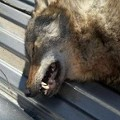 Looks Like Somebody Shot a Wild Wolf in Howard County