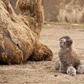 Check Out This Baby Camel!